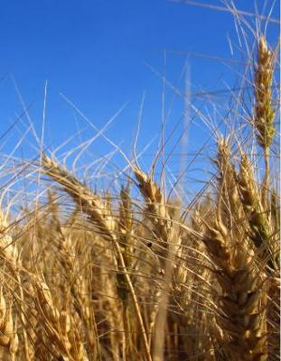 Wheat Field - Whole Grains from God