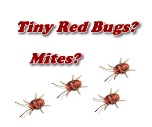 Anyone Heard Of These Small Red Crawling Bugs This