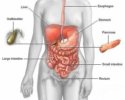 how does digestive system work