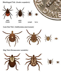 difference between a tick and crabs