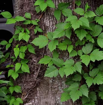 Poison Ivy Leaves Cause Watery Bumps